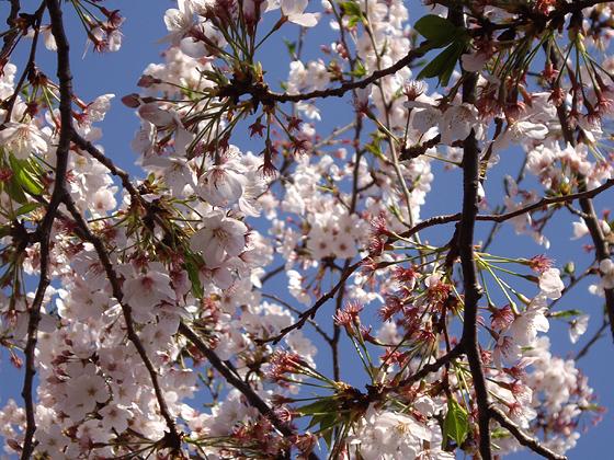 桜の枝 このページの上へ戻る↑ 細い枝 細い枝と桜の花の写真素材です。細い枝の... 入り組んだ