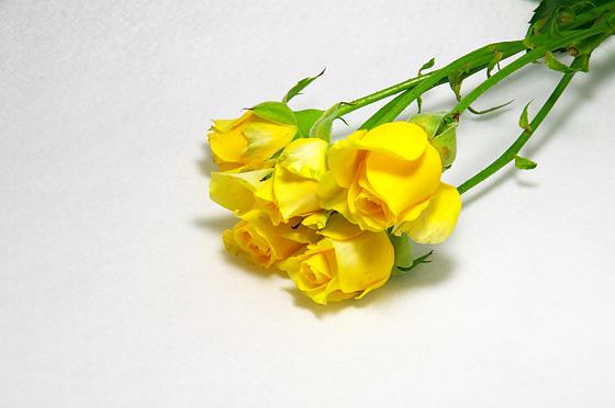 薔薇の画像 p1_13