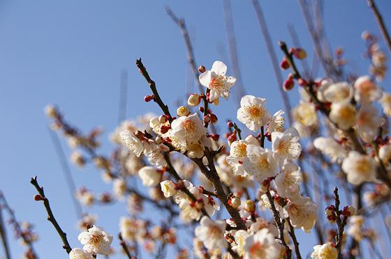 早春の梅 このページの上へ戻る↑ 梅の木 木の枝にはまだたくさんのつぼみがありま... 梅の木